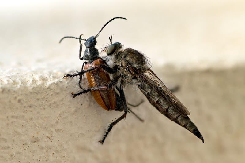 Primo piano della zanzara che mangia scarabeo fotografie stock libere da diritti