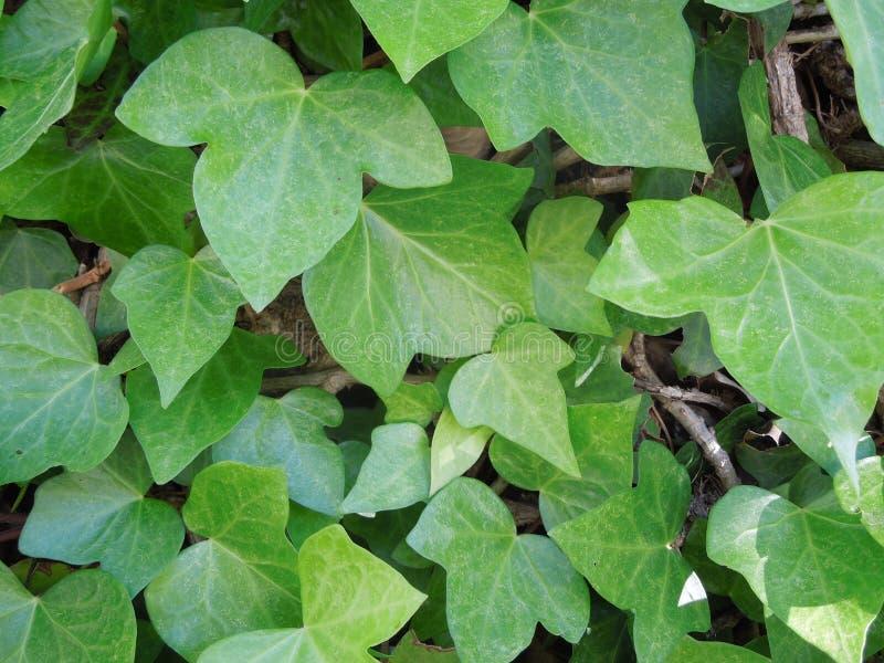 Primo piano delle foglie dell'edera fotografia stock libera da diritti