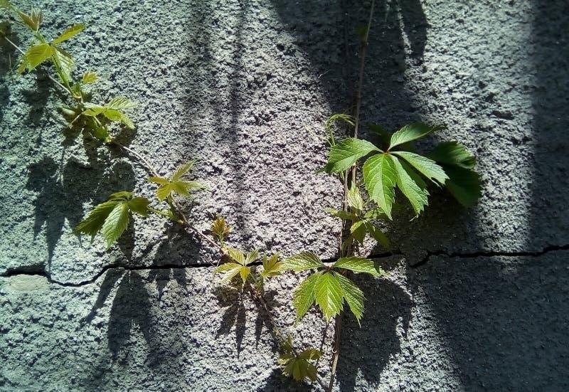 Primo piano delle foglie dell'uva selvaggia contro lo sfondo di una superficie grigia approssimativa con le ombre scure fotografie stock