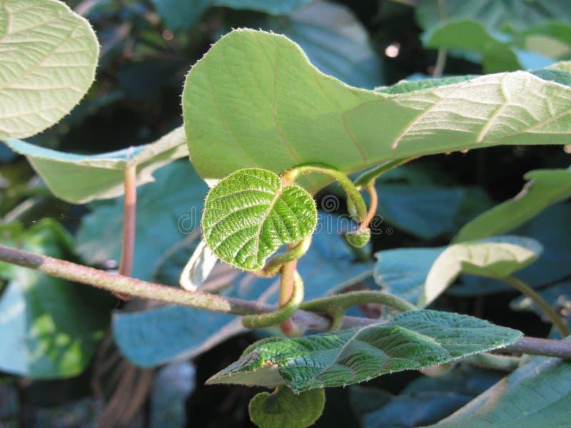 Primo piano delle foglie di kiwi o del kiwi o dell'uva spina cinese immagine stock