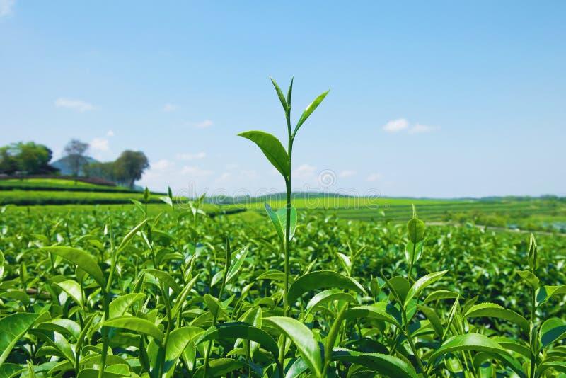 Primo piano delle foglie di tè verdi fresche alla piantagione di tè con cielo blu e la nuvola fotografie stock
