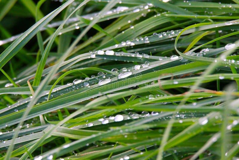 Primo piano delle gocce di pioggia sul prato dell'erba verde in Brüggen, Germania immagine stock