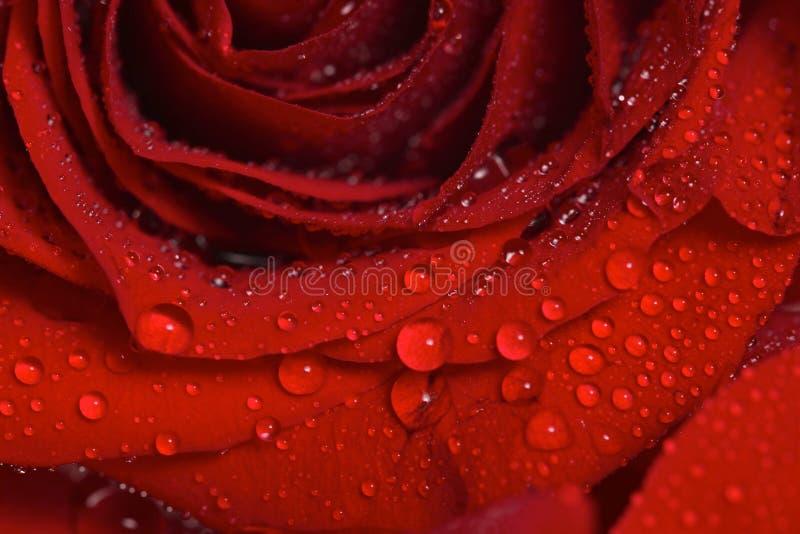 Primo piano delle gocce di rugiada su una bella Rosa rossa fotografia stock libera da diritti