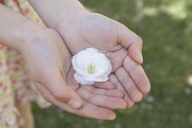 Primo piano delle mani delle bambine a coppa insieme e tenendo un fiore di ciliegia fotografia stock