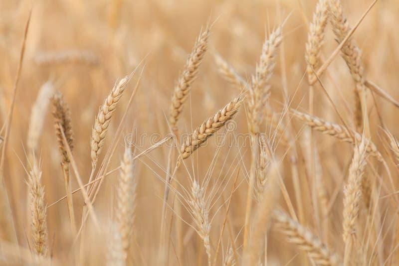 Primo piano delle orecchie del grano fotografia stock