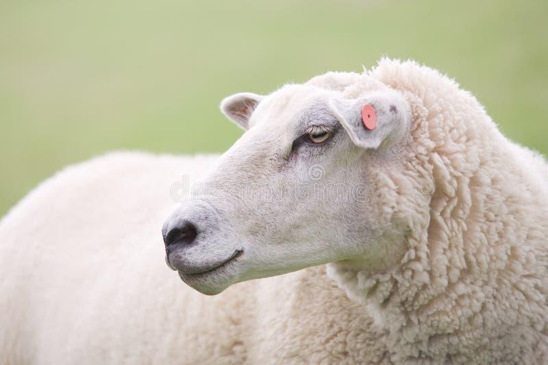 Primo piano delle pecore fotografia stock