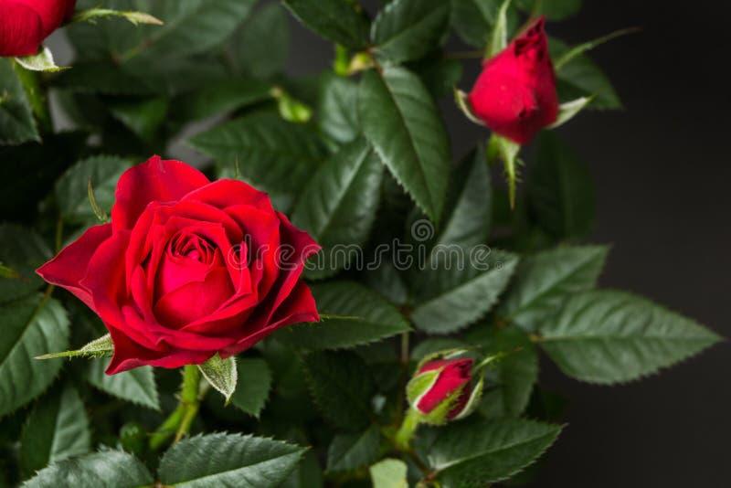 Primo piano delle rose rosse su un fondo nero immagini stock
