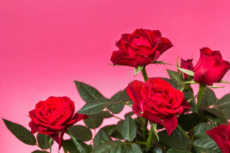 Primo piano delle rose rosse su un fondo rosa fotografia stock libera da diritti