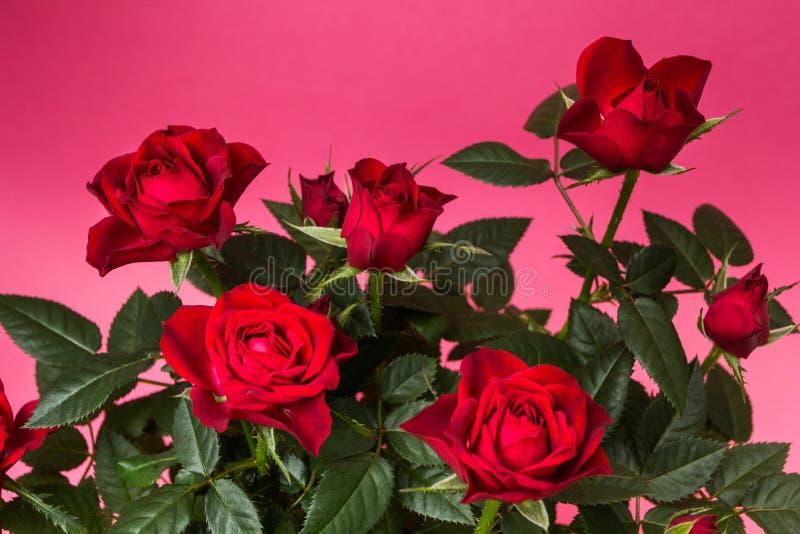 Primo piano delle rose rosse su un fondo rosa fotografia stock