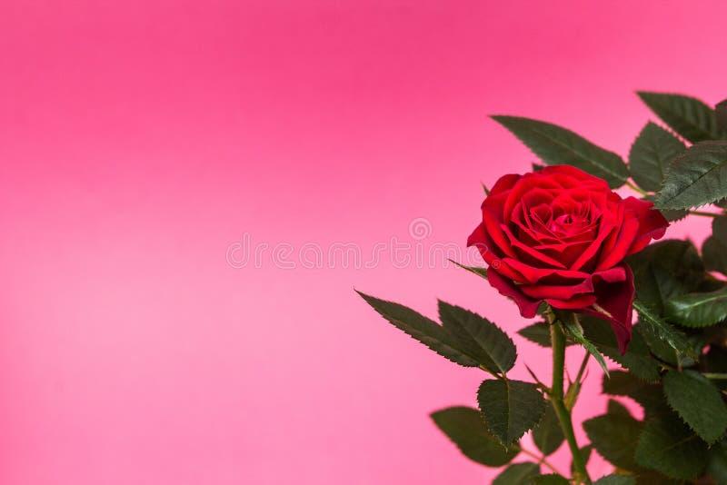 Primo piano delle rose rosse su un fondo rosa Spazio per testo fotografia stock