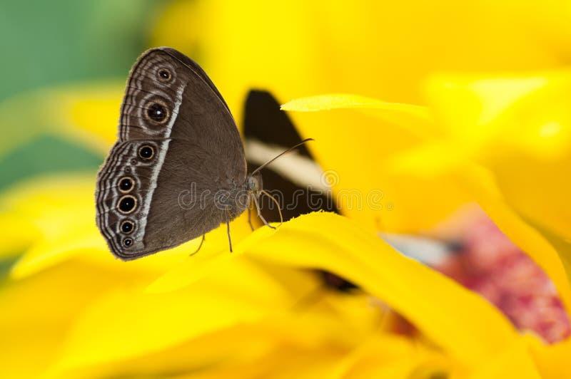 Primo piano delle speci esotiche di Caligo della farfalla fotografia stock