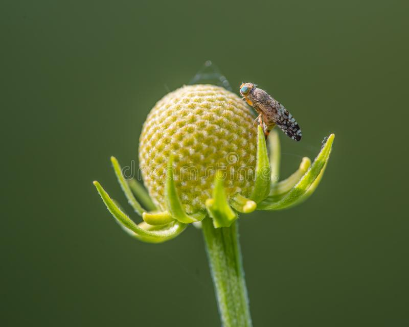 Primo piano delle specie della mosca della frutta sui resti del cono di un wildflower che ha perso i suoi pedali - Theodore Wirth immagine stock libera da diritti