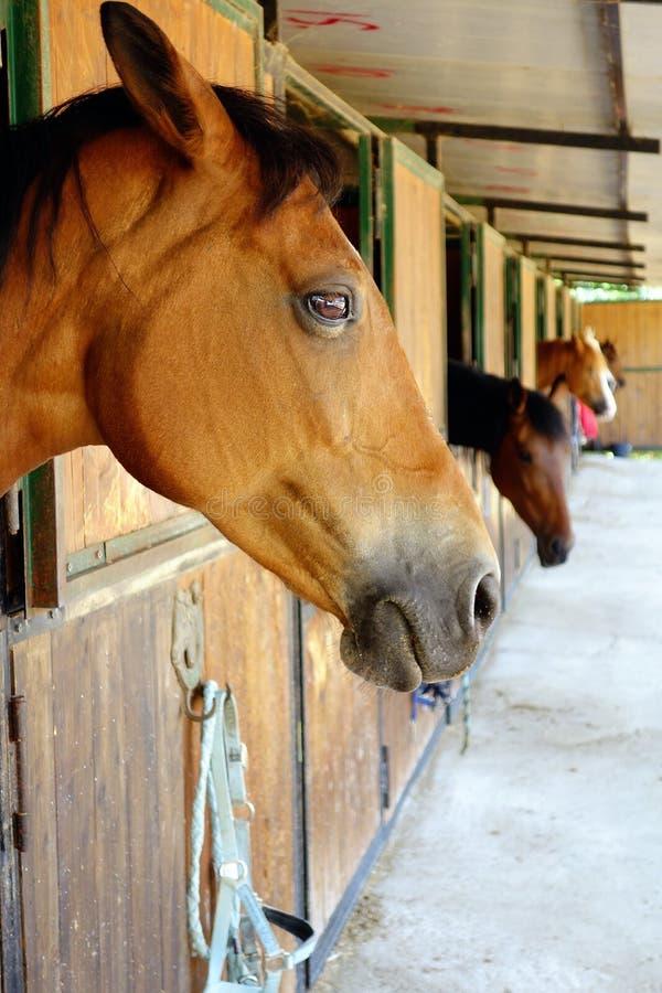 Primo piano delle stalle dei cavalli di Brown del cavallo fotografie stock