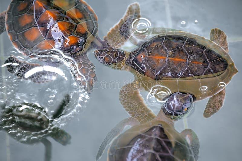 Primo piano delle tartarughe marine di Hawksbill del bambino fotografie stock libere da diritti