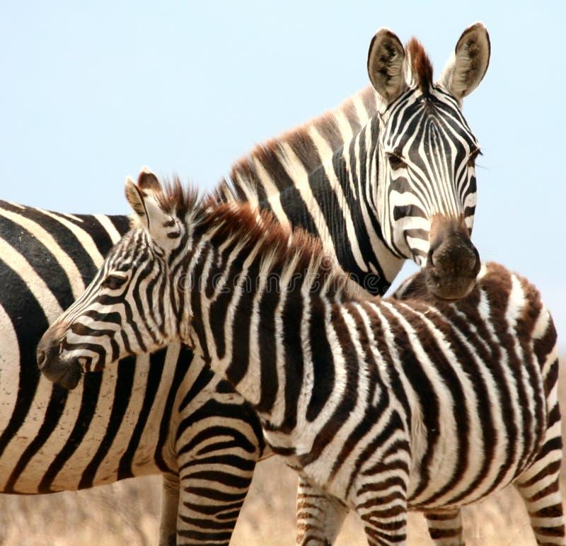 Primo piano delle zebre fotografia stock