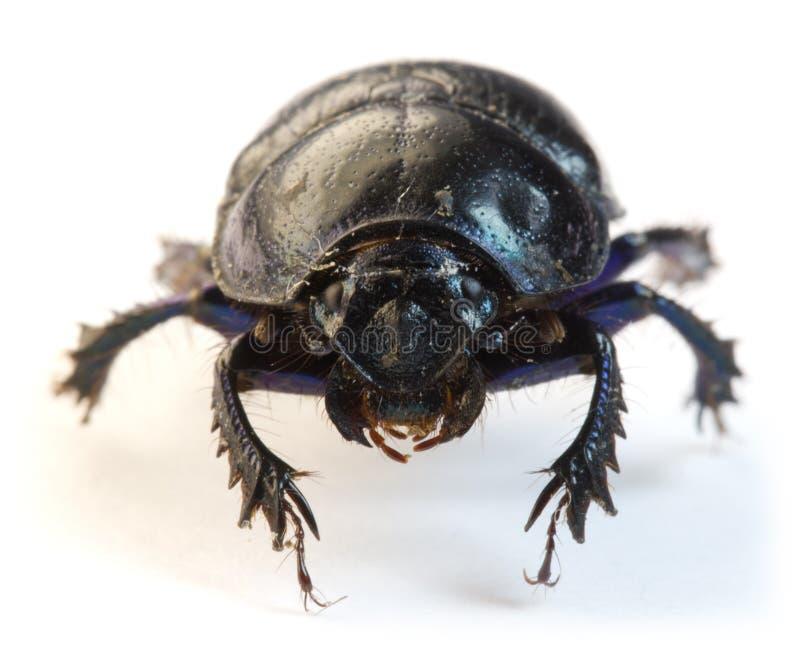 primo piano dello Dung-scarabeo immagini stock libere da diritti