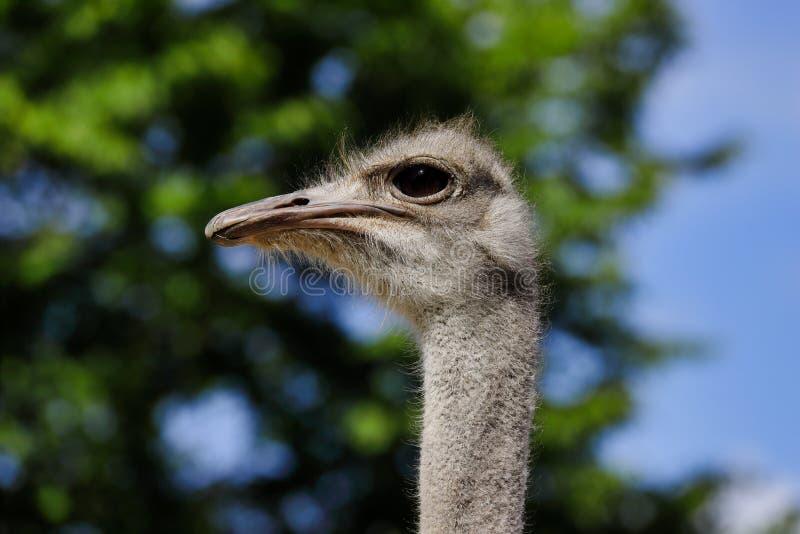Primo piano dello struthio camelus comune femminile sudafricano dello struzzo dei dettagli capi fotografia stock libera da diritti