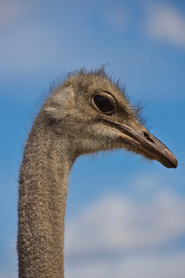 Primo piano dello struthio camelus comune femminile sudafricano dello struzzo dei dettagli capi immagini stock libere da diritti