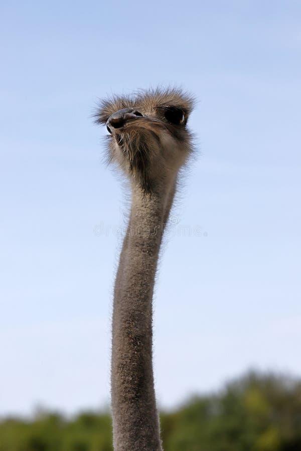 Primo piano dello struthio camelus comune femminile sudafricano dello struzzo dei dettagli capi immagine stock libera da diritti