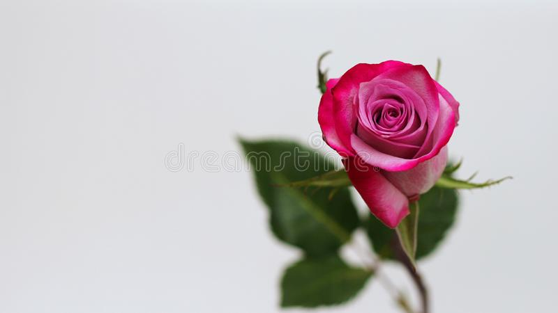 Primo piano dentellare della Rosa Fuoco selettivo Congratulazioni sul vostro compleanno, l'8 marzo o su Women& x27; giorno di s S fotografia stock libera da diritti
