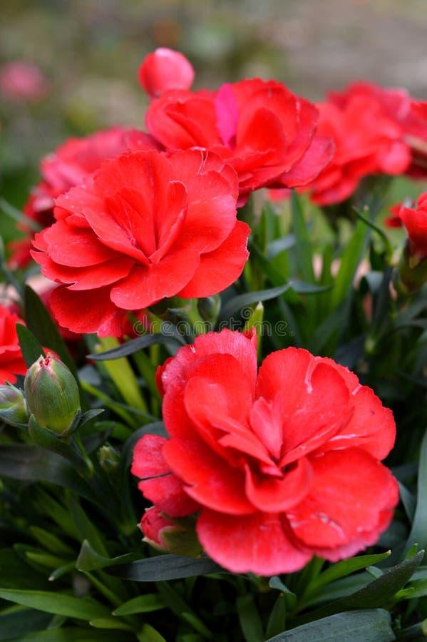 Primo piano di alcuni garofani della nana rossa, natura, macro fotografie stock libere da diritti