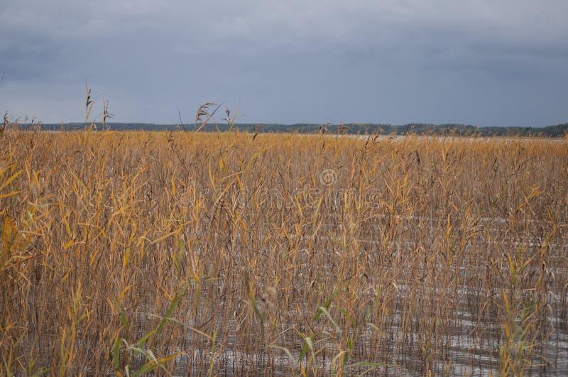 Primo piano di autunno delle canne variopinte che crescono in acqua del lago fotografia stock