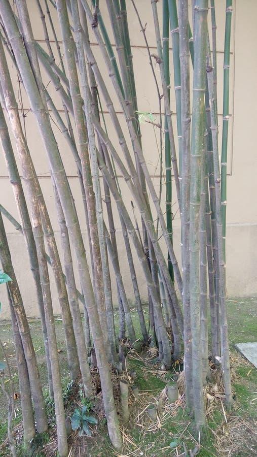 Primo piano di bambù degli alberi immagini stock
