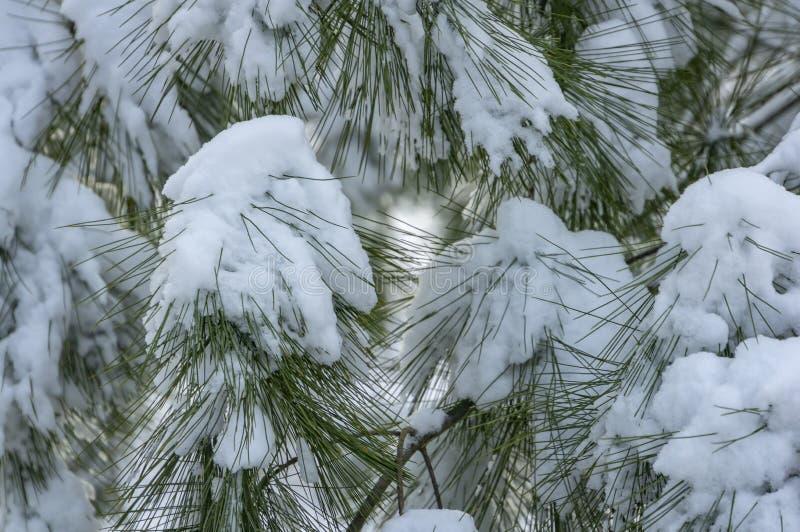 Primo piano di bei aghi lunghi di pinus strobus coperti di neve lanuginosa bianca fotografia stock