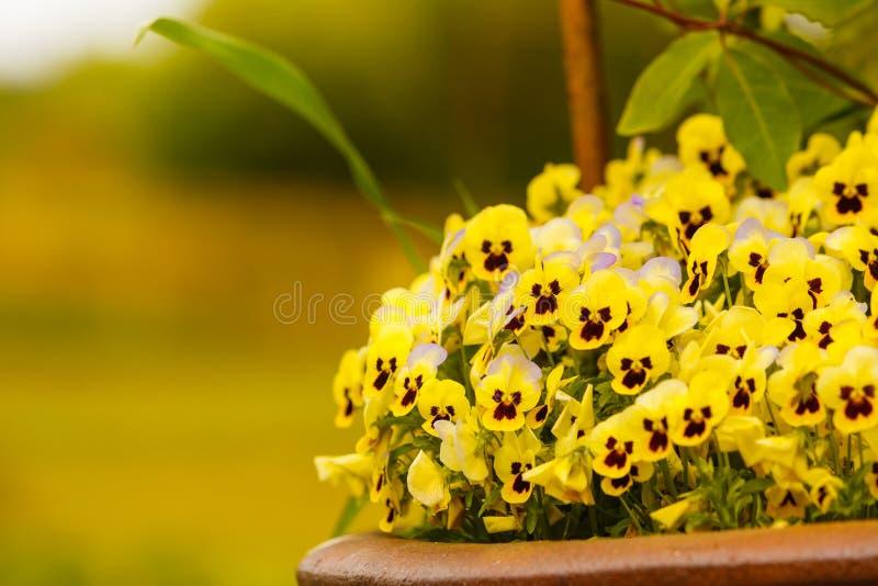 Primo piano di bei fiori gialli, viole del pensiero fotografia stock libera da diritti