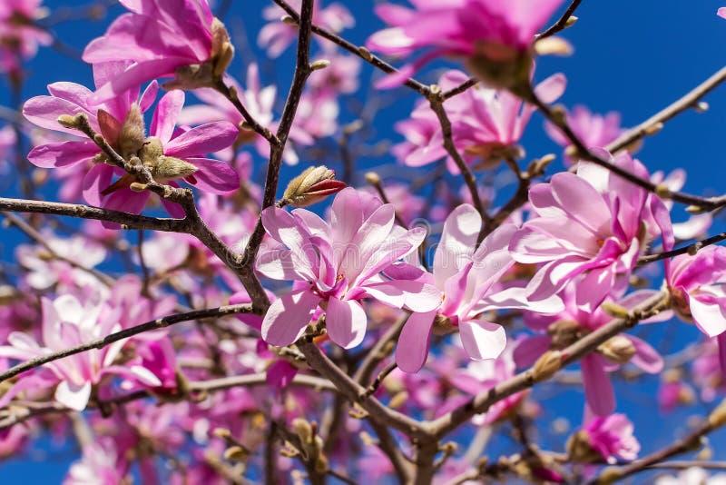 Primo piano di bei fiori rosa della magnolia su un fondo luminoso del cielo blu Sbocciando dell'albero della magnolia un giorno d immagini stock libere da diritti