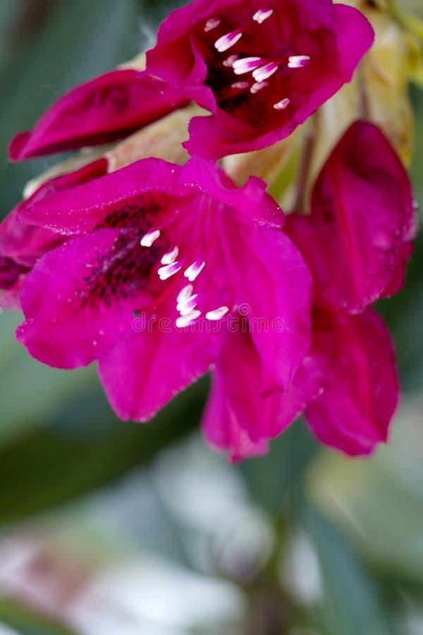 Primo piano di bei fiori rossi delle azalee Priorit? bassa della sorgente immagini stock libere da diritti