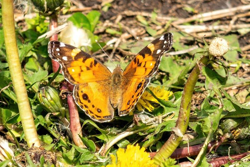 Primo piano di bella farfalla con le ali arancio & nere, sedentesi su un dente di leone di fioritura giallo fra verde fertile fotografie stock libere da diritti