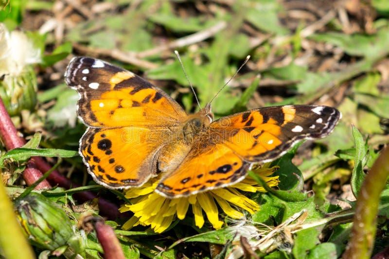 Primo piano di bella farfalla con le ali arancio & nere, sedentesi su un dente di leone di fioritura giallo fra verde fertile fotografia stock libera da diritti