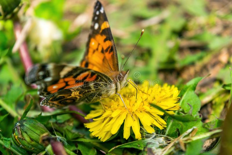 Primo piano di bella farfalla con le ali arancio & nere, sedentesi su un dente di leone di fioritura giallo fra verde fertile fotografie stock