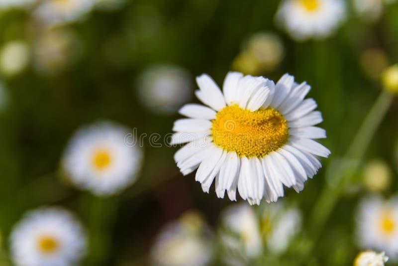 Primo piano di bella pratolina gialla e bianca fiore della download primo piano di bella pratolina gialla e bianca fiore della margherita immagine stock altavistaventures Image collections