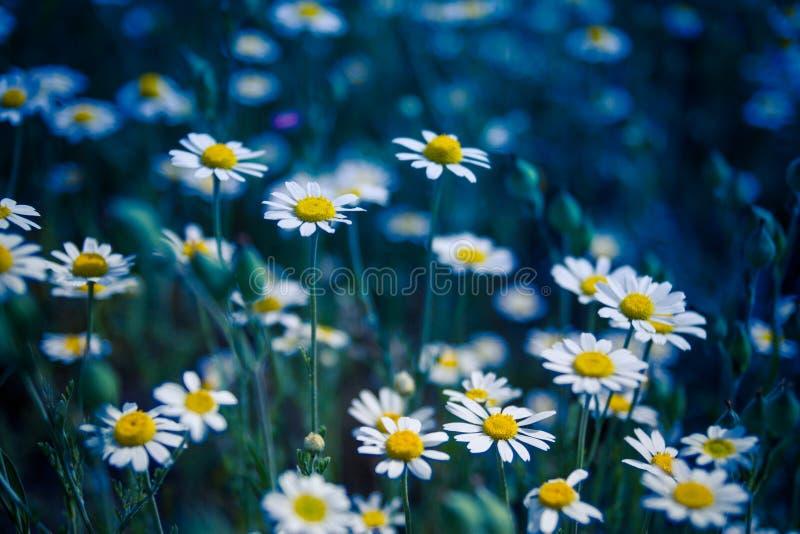 Primo piano di bella pratolina gialla e bianca fiore della download primo piano di bella pratolina gialla e bianca fiore della margherita fotografia stock thecheapjerseys Gallery