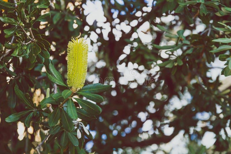 Primo piano di bella spazzola subtropicale di Costata Buttle di Banksia fotografia stock libera da diritti