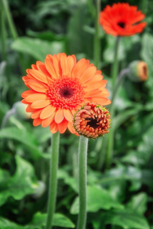 Primo piano di belle gerbere arancio immagine stock
