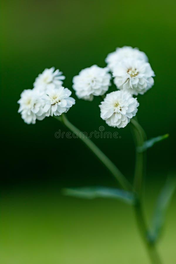 Primo piano di bello fiore bianco su uno sfondo naturale verde vago Bello fiore di fioritura bianco nel giardino fotografia stock