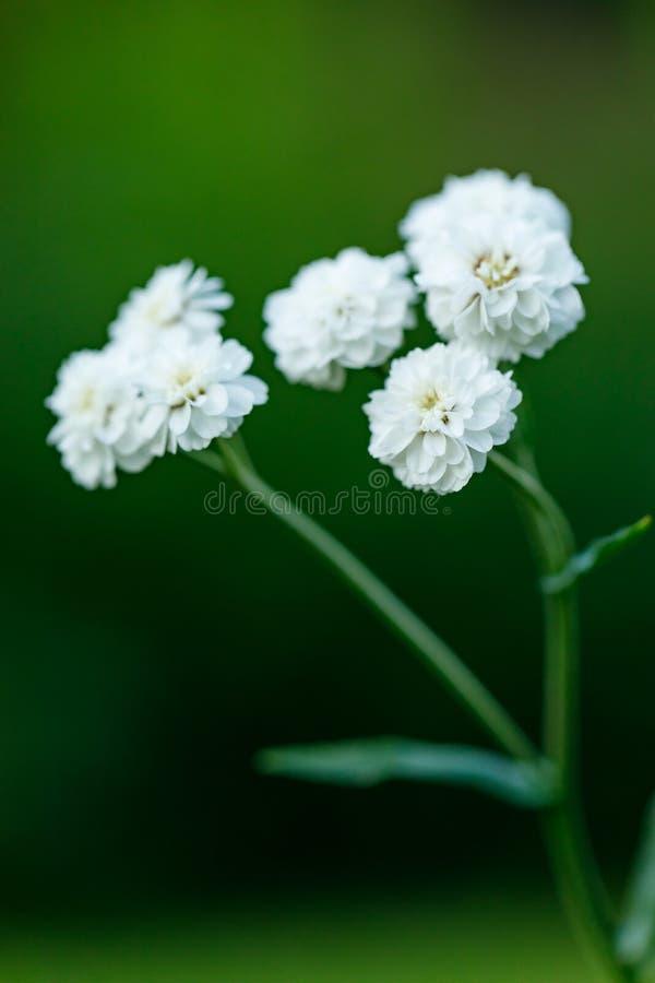 Primo piano di bello fiore bianco su uno sfondo naturale verde vago Bello fiore di fioritura bianco nel giardino immagini stock
