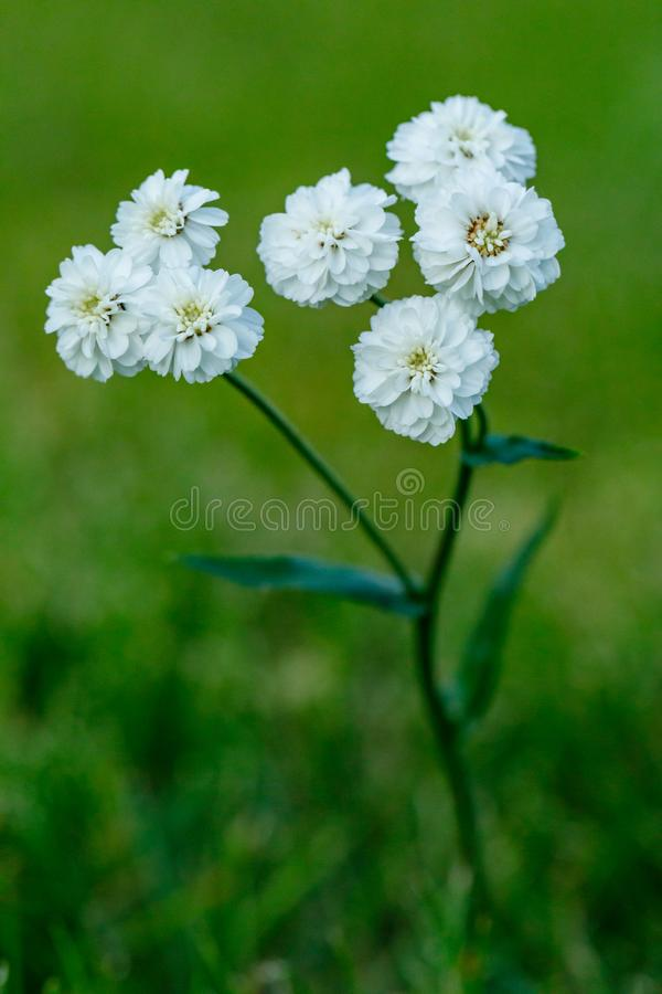 Primo piano di bello fiore bianco su uno sfondo naturale verde vago Bello fiore di fioritura bianco nel giardino immagini stock libere da diritti
