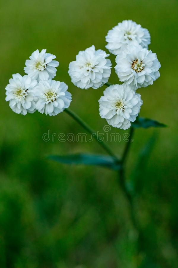 Primo piano di bello fiore bianco su uno sfondo naturale verde vago Bello fiore di fioritura bianco nel giardino immagine stock