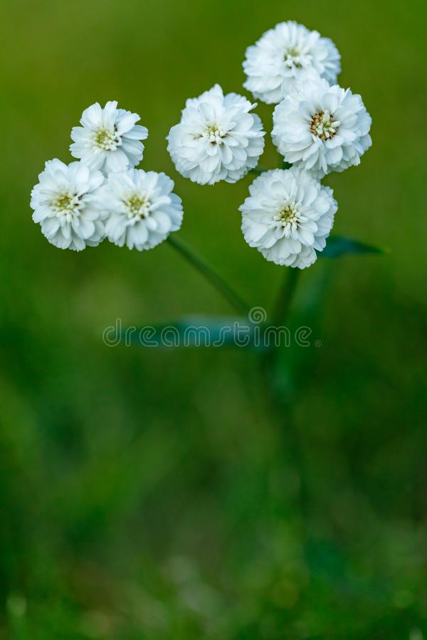 Primo piano di bello fiore bianco su uno sfondo naturale verde vago Bello fiore di fioritura bianco nel giardino fotografia stock libera da diritti