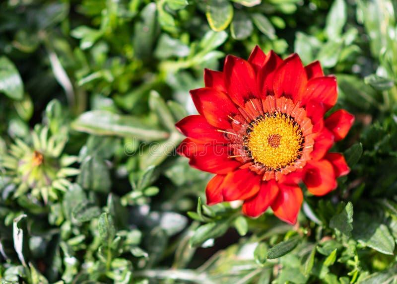 Primo piano di bello fiore con i petali rossi e la corolla gialla immagini stock