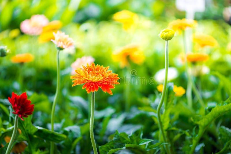 Primo piano di bello fiore della gerbera che fiorisce nel giardino fotografia stock