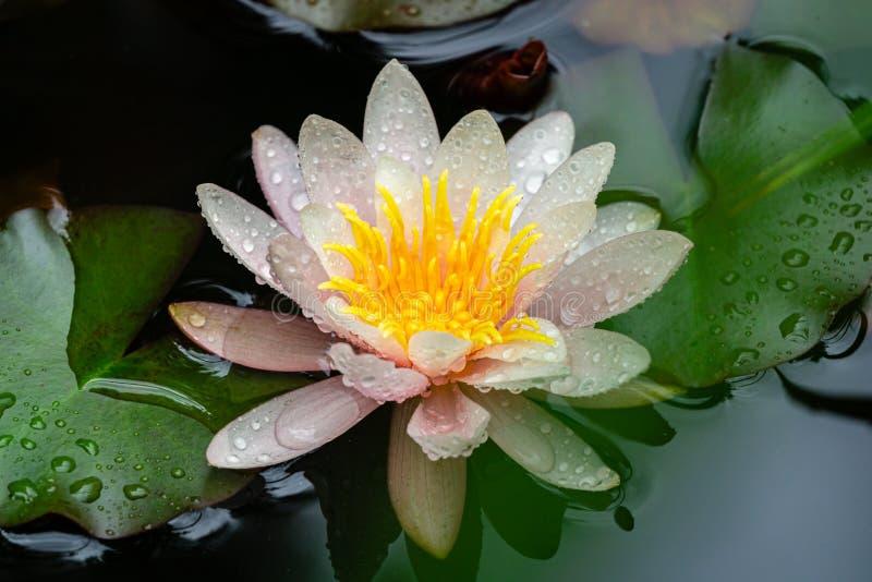 Primo piano di bello fiore rosa Marliacea Rosea di loto o della ninfea nello stagno Bellezza naturale della ninfea dopo pioggia fotografia stock