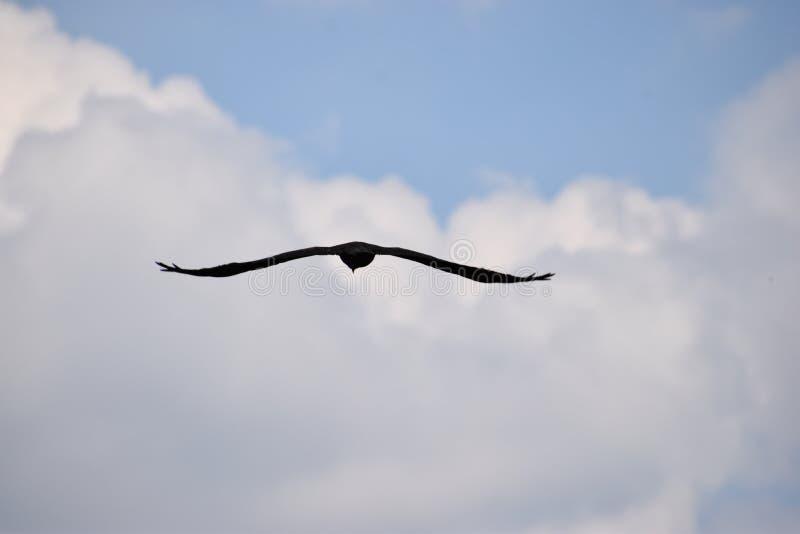 Primo piano di bello volo rosso dell'aquilone con le ali spante su un cielo blu in Germania fotografia stock