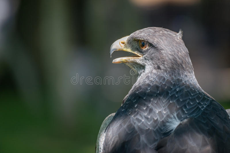 Primo piano di Buzzard-Eagle nero-chested con il becco aperto fotografie stock