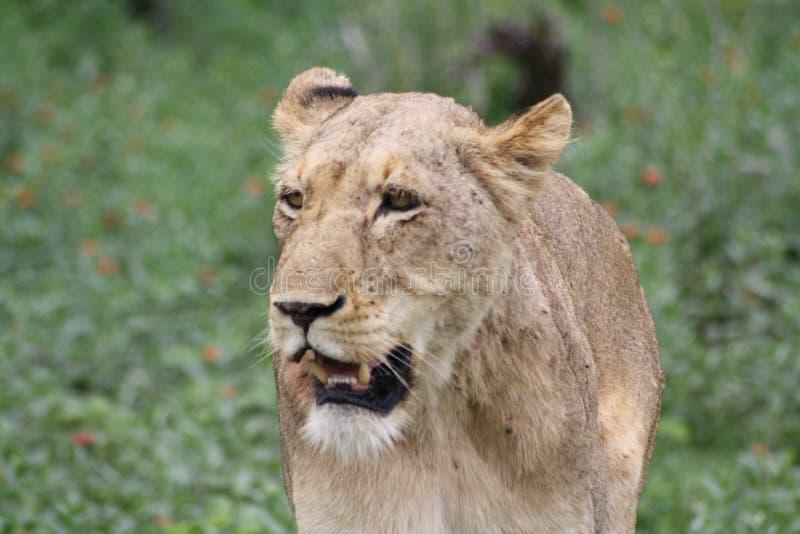 Primo piano di camminata della leonessa africana che sembra giusto fotografia stock