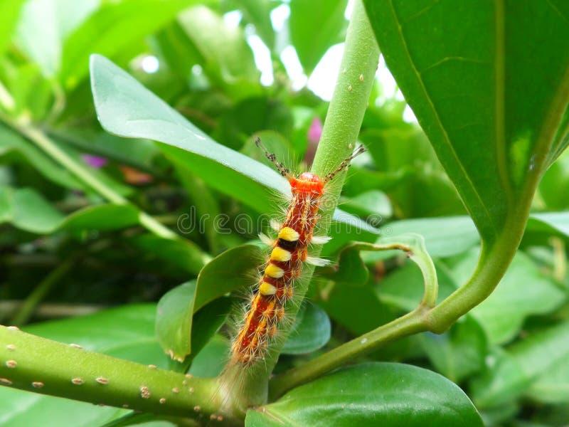 Primo piano di Caterpillar arancio che scala sul ramo verde fotografie stock